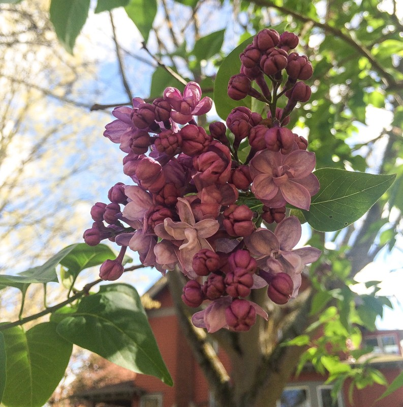 Lilacs in the PDX