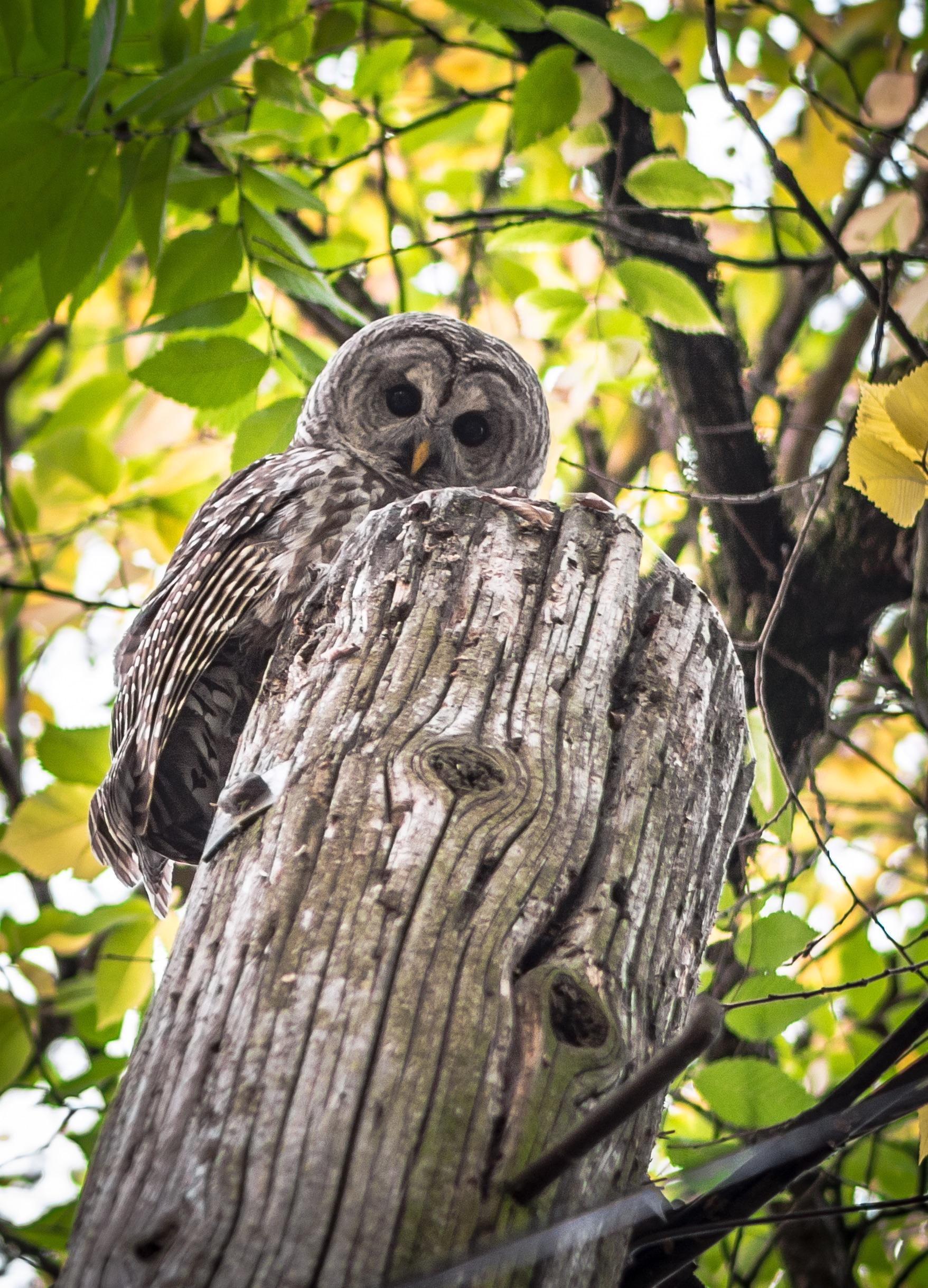 Portland Oregon Backyard Birds: Northern Pygmy Owl!  Owls Portland Oregon