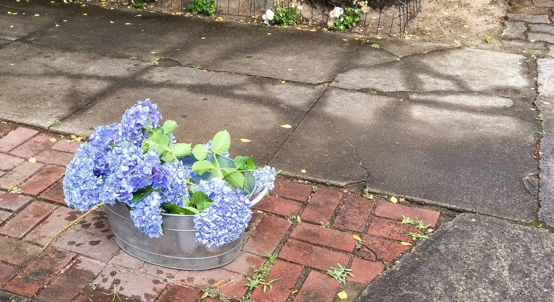 Hydrangeas in Neighborhood Free Portland