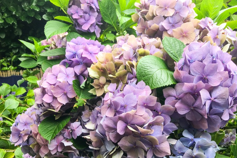 Hydrangeas at Carol's