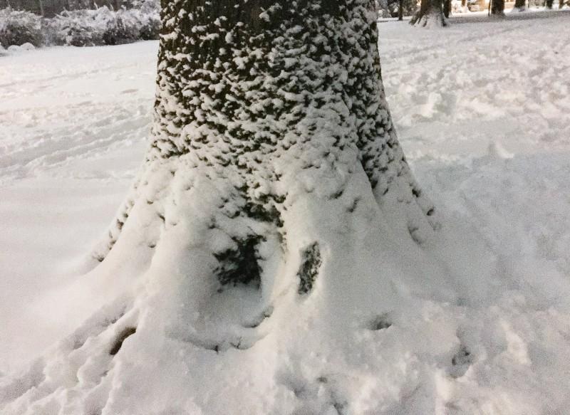 Snowy Tree at Grant Park, Portland