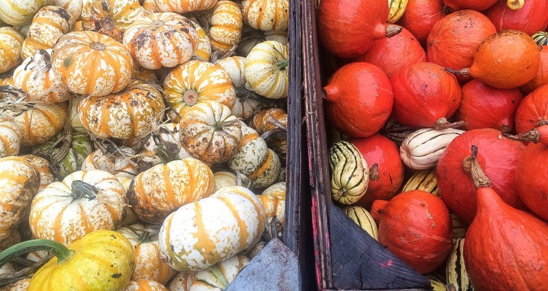 Sauvie Island Pumpkins at Kruger Farm Portland