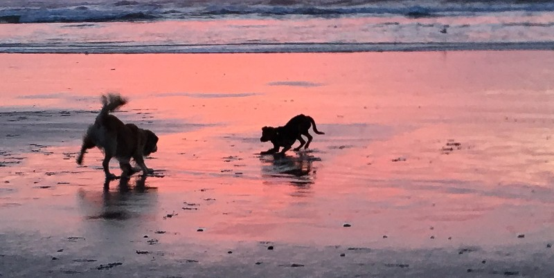 Dogs Playing in Sunset at Rockaway Beach