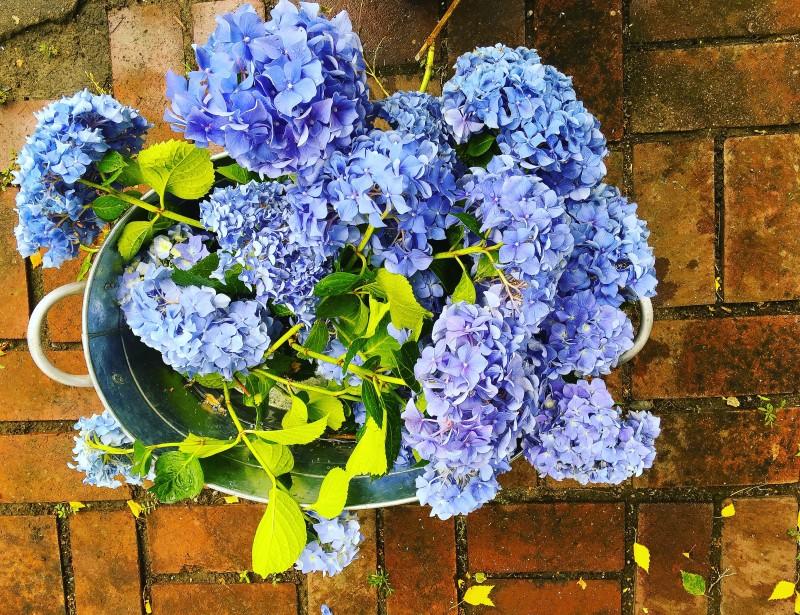 Hydrangeas for Free, Portland