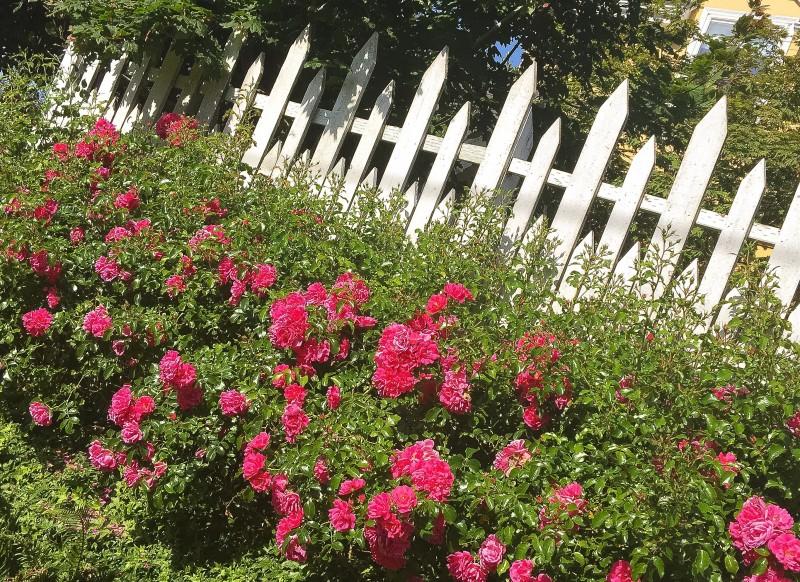 White Picket Fence, Portland