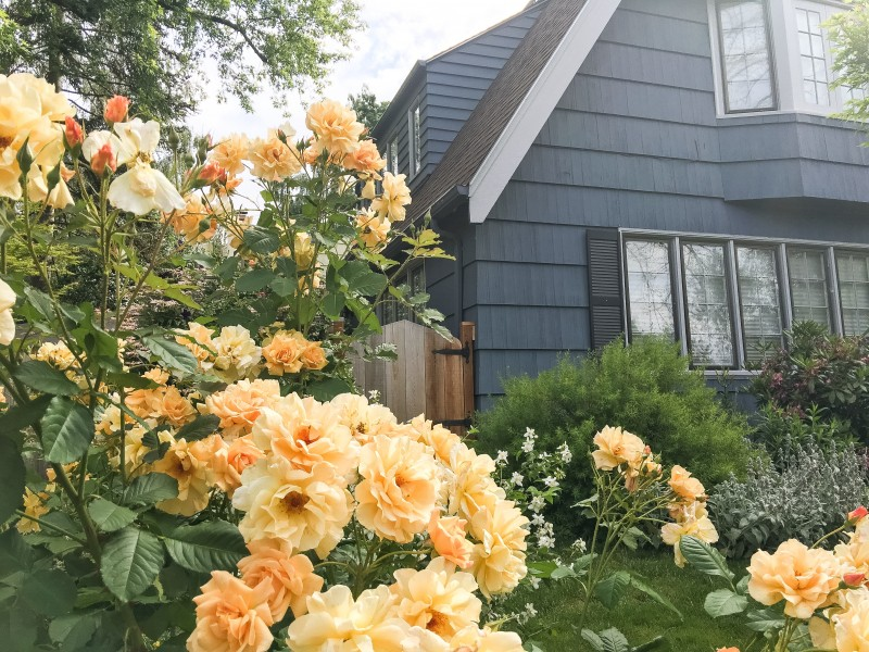 Blue House, Yellow Roses Portland
