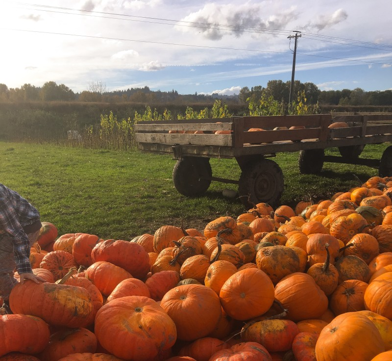 Pumpkins at Krugers Farm, Sauvie Island
