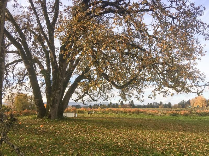 Krugers Farm, Oak Tree