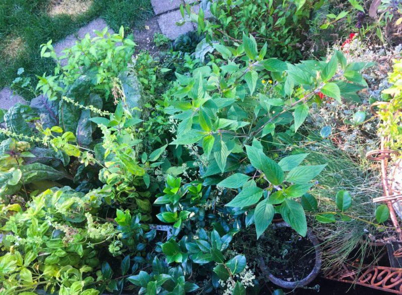 Herb Garden Tomato Season