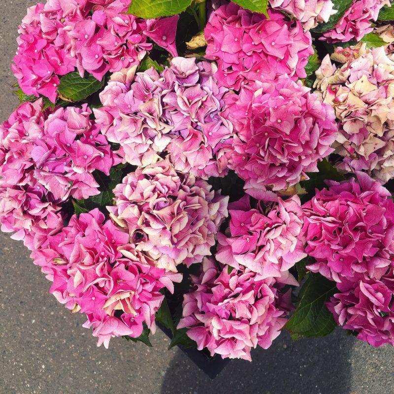 Hydrangeas Porch drop off Portland