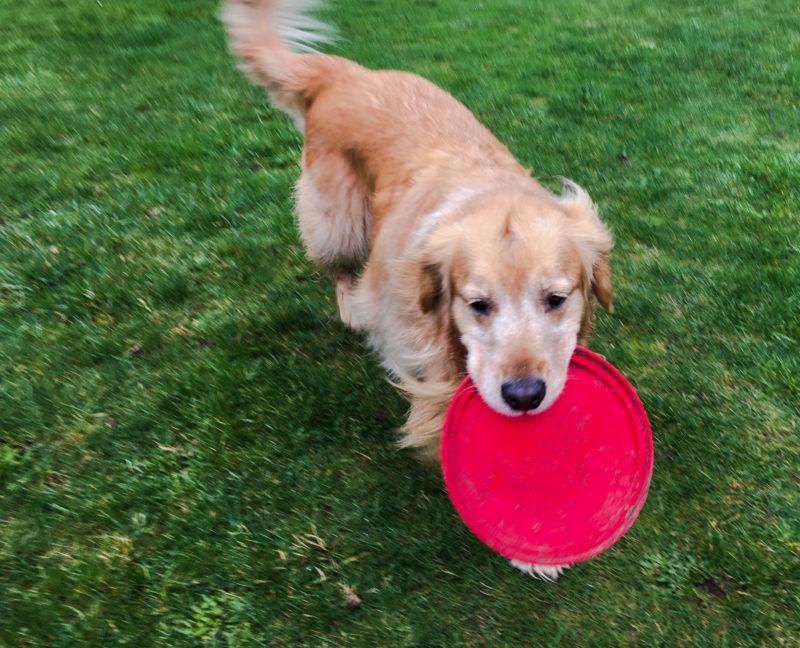 Porter Pork CHop frisbee