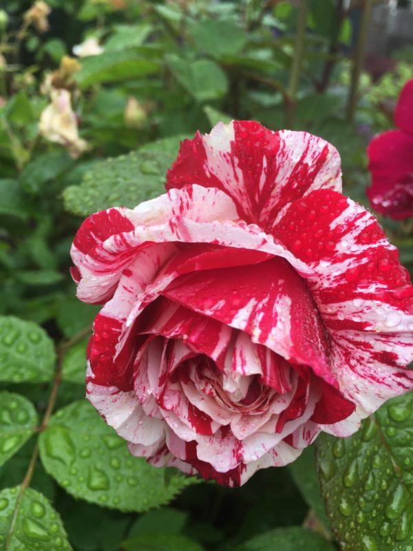 roses on walk